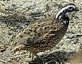 Colinus virginianus False Cape State Park (cropped).jpg