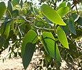 Colophospermum mopane feuilles MHNT.jpg