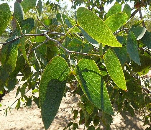 Colophospermum mopane feuilles MHNT