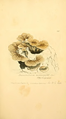 Coloured Figures of English Fungi or Mushrooms - t. 290.png