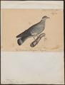 Columba albitorques - 1835 - Print - Iconographia Zoologica - Special Collections University of Amsterdam - UBA01 IZ15600329.tif