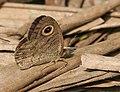 Common Five-ring (Ypthima baldus)- dry season form at Narendrapur W IMG 4174.jpg