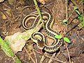 Common Garter Snake (Thamnophis sirtalis) - Flickr - GregTheBusker.jpg