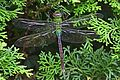 Common Green Darner - Ajax junius, Woodbridge, Virginia - 6513707755.jpg