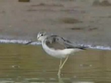 Податотека:Common Greenshank.ogv