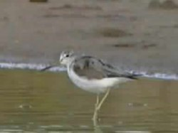 Fil:Common Greenshank.ogv