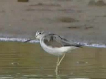 Fail:Common Greenshank.ogv