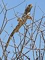 Common Ground Agama (Agama aculeata) (44288050640).jpg