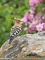 Common Hoopoe (Upupa epops) (48201566487).jpg