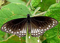 Common Mime Papilio clytia Form clytia UP by kadavoor.jpg