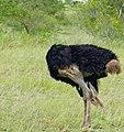 "Common Ostrich (Struthio camelus) ""headless"" male ... (50674346981).jpg"