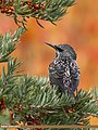 Common Starling (Sturnus vulgaris) (44855139355).jpg
