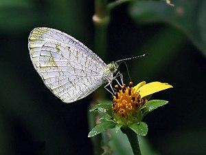 Pieridae - Psyche butterfly, Leptosia nina