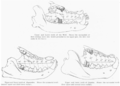 Comparison of Carnivoran and Creodont Carnassials.png