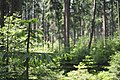 Coniferous forest- close up - sächsische Schweiz.jpg