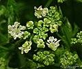 Conium maculatum inflorescence (04).jpg