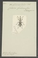 Conocephalus - Print - Iconographia Zoologica - Special Collections University of Amsterdam - UBAINV0274 030 05 0013.tif