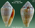 Conus belairensis 3.jpg