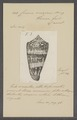 Conus omaicus - - Print - Iconographia Zoologica - Special Collections University of Amsterdam - UBAINV0274 086 02 0055.tif