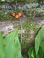 Convallaria majalis fruits.jpg