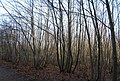 Coppiced trees, Thornden Wood - geograph.org.uk - 1143342.jpg