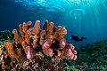 Corals (31104498462).jpg
