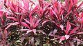 Cordyline fruiticosa 'Firebrand' 3.jpg