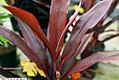 Cordyline terminalis Maroon Magic 1zz.jpg