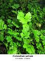 Coriandrum sativum 1.1.jpg