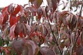 Cornus florida Cherokee Brave 2zz.jpg