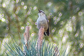 Corsican Nuthatch (35511124011) (cropped).jpg