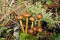Cortinarius zakii Ammirati & A.H. Sm 285332.jpg