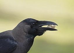 Corvus splendens insolens @ Kuala Lumpur (2) alternate crop.jpg