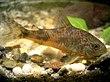 Corydoras paleatus by NiKo.jpg