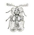 Corythuca Tingid icon.png