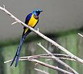 Cosmopsarus regius -Bird Kingdom, Niagara Falls, Canada-8a.jpg