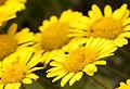 Cota tinctoria pallida - Yellow chamomile - Boyacı papatyası 2.jpg