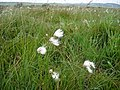 Cotton grass blowing in the wind on Eaglestone Flat - geograph.org.uk - 1164574.jpg