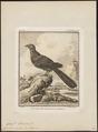 Coua caeruleus - 1700-1880 - Print - Iconographia Zoologica - Special Collections University of Amsterdam - UBA01 IZ18800125.tif