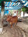 Cow 6.jpg