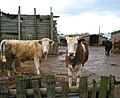 Cows at Rope Farm, near Shavington - geograph.org.uk - 323178.jpg