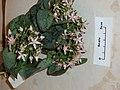Crassula arborescens undulatifoliata (Mill.) Willd. (AM AK291180-2).jpg
