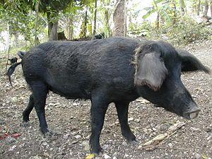 Creole pig - Image: Creole Pig