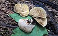 Crepidotus crocophyllus 13080364.jpg