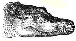 Crocodile Wikiversity