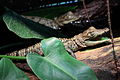 Crocodylus moreletii - 6 month old.JPG