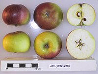 Cross section of Api, National Fruit Collection (acc. 1982-288).jpg