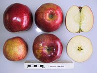 Cross section of Decosta, National Fruit Collection (acc. 1998-015).jpg