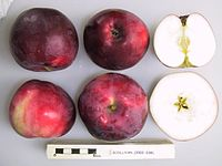 Cross section of Rodluvan, National Fruit Collection (acc. 2002-038).jpg