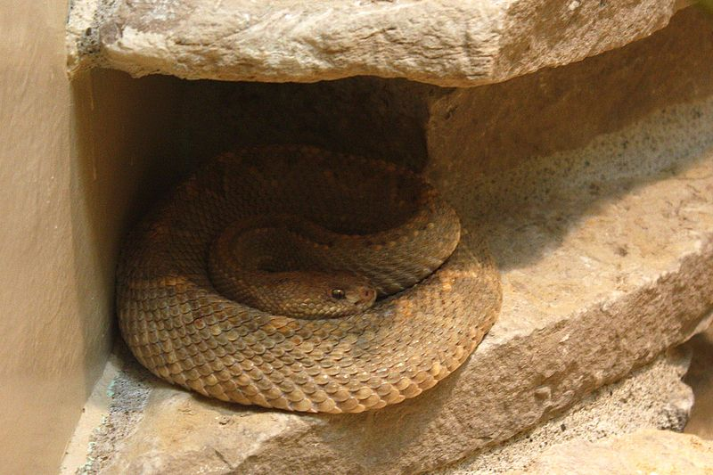 File:Crotalus durissus unicolor at the Columbus Zoo-2011 07 11 IMG 0653.JPG